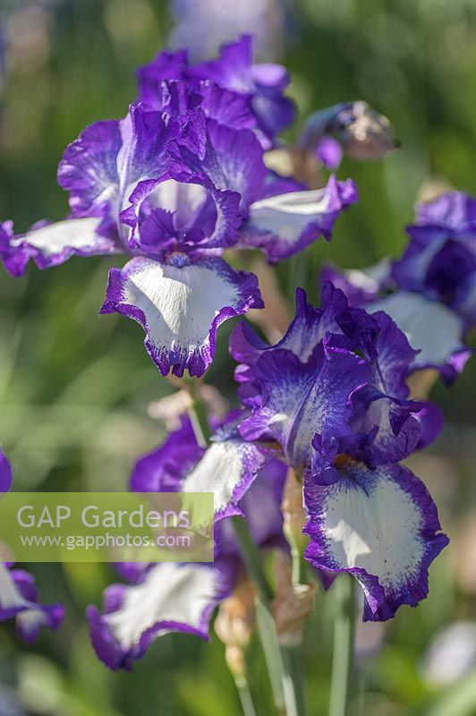 Iris 'Stepping Out' - Bearded Iris 'Stepping Out'