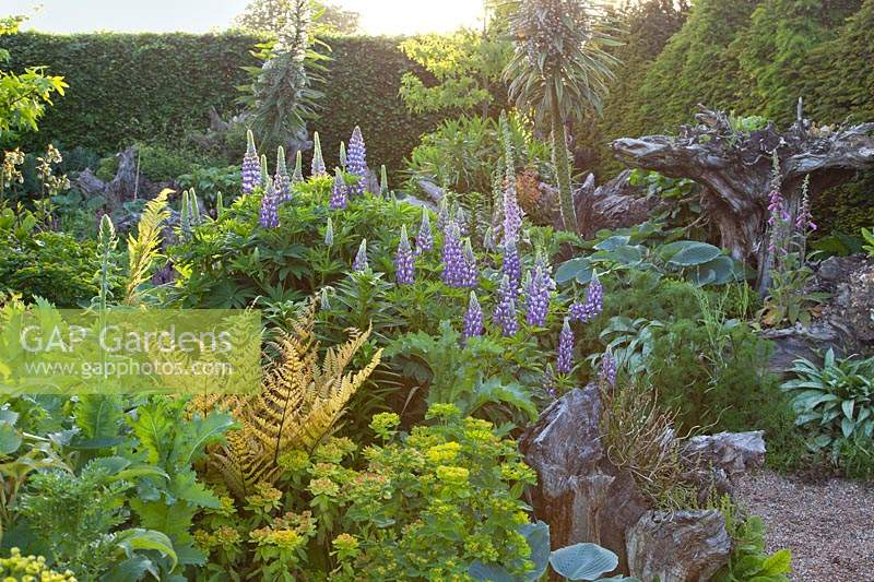 Lupins, ferns, Euphorbia, Echiums and Digitalis growing in stumpery garden. Arundel Castle, West Sussex, UK.