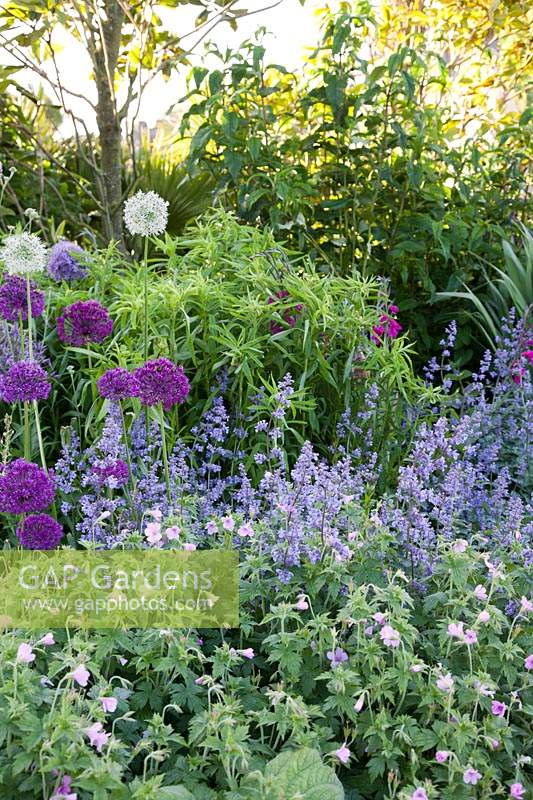 Salvia, Geranium, Knautia, and Allium in summer border. Arundel Castle, West Sussex, UK.