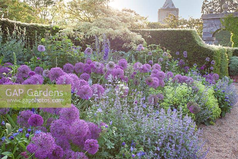 Border with alliums, Nepeta, Alchemilla mollis, delphinium and cornus