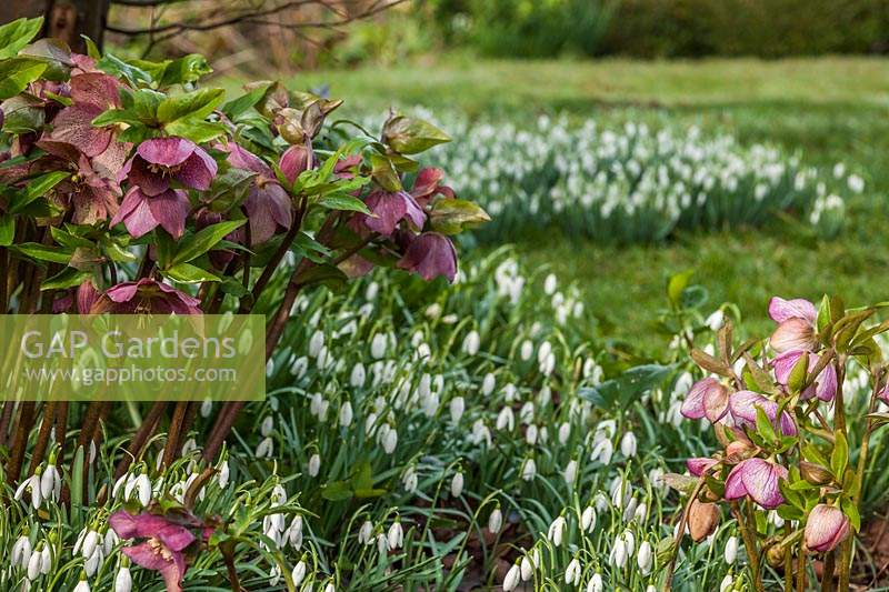 Hellebores and Snowdrops at The Long House Sussex