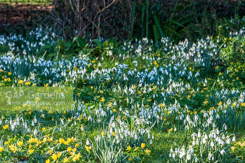 Galanthus - Snowdrops and  Eranthis hyemalis - Winter Aconite at The Old Rectory Kent, UK.