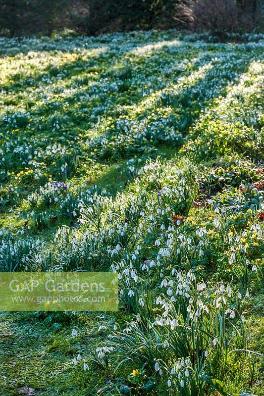 View of flowering Snowdrops and aconites at The Old Rectory, Kent