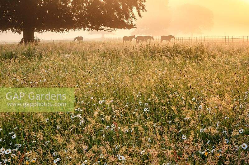Wildflower meadow at sunrise. Ox-eye daisies and meadow buttercups surface through feathery grasses as the sun breaks through the early morning mist.  Horses graze on rough grass nearby.