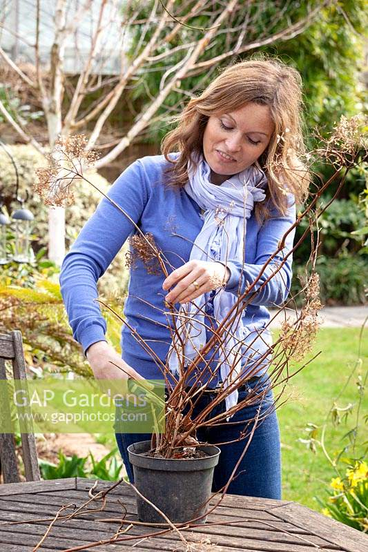 Hard pruning a pot grown Hydrangea paniculata - cutting all stems back to healthy buds roughly 25cm from the base.