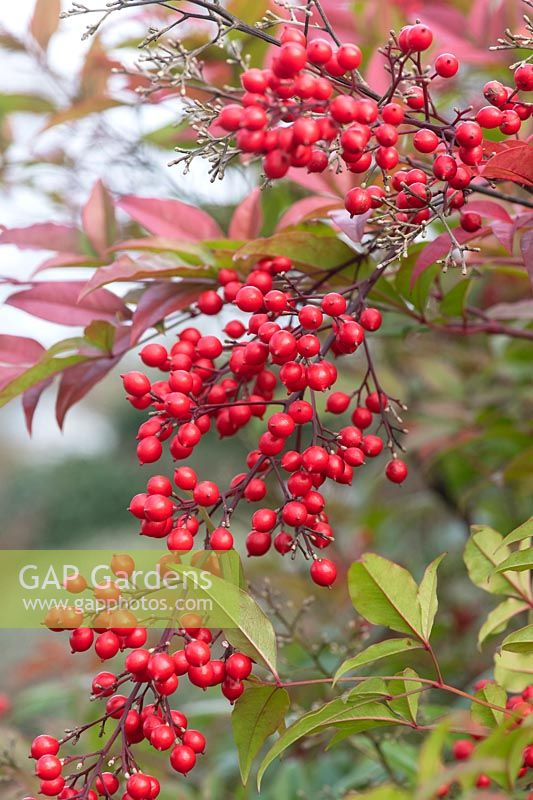 Nandina domestica - Sacred bamboo berries in winter