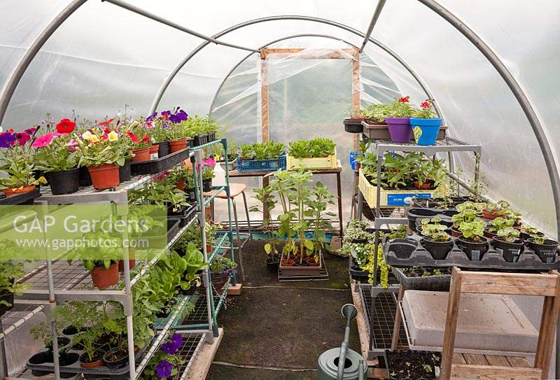 Interior of polytunnel with tender annuals on shelves. Allotment: Wendy Gordon, Well Bean Gardening.