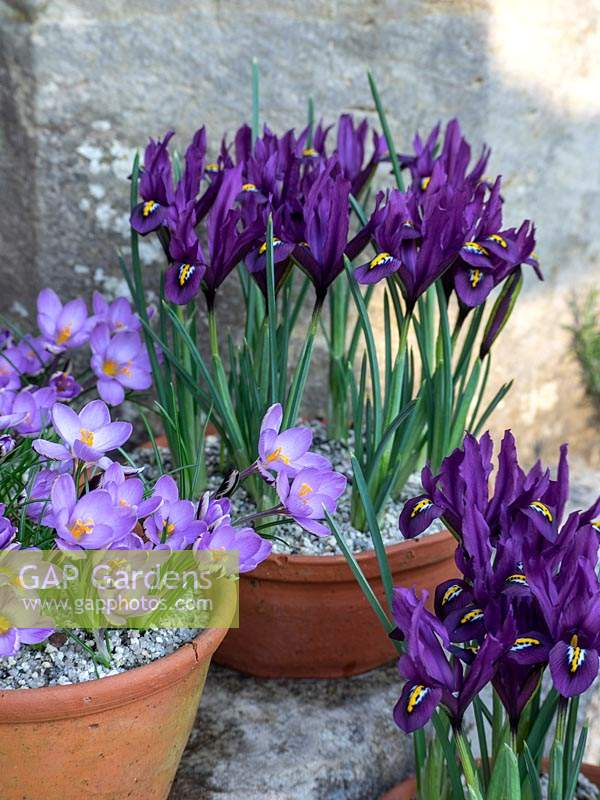 Individually planted spring terracotta pots with Crocus and Iris reticulata.