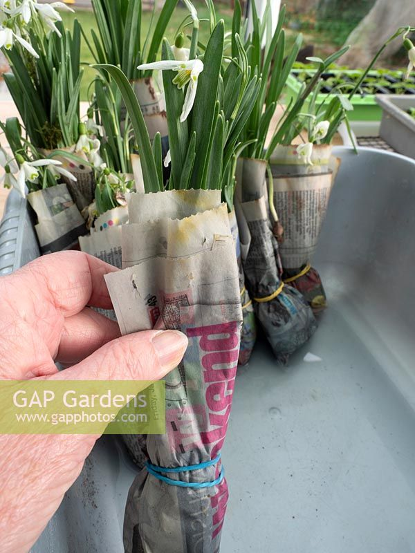 Galanthus - snowdrops - wrapped in newspaper, ready to be planted out.