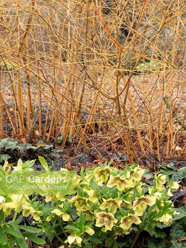 View of shady flowerbed with Helleborus and Cornus.