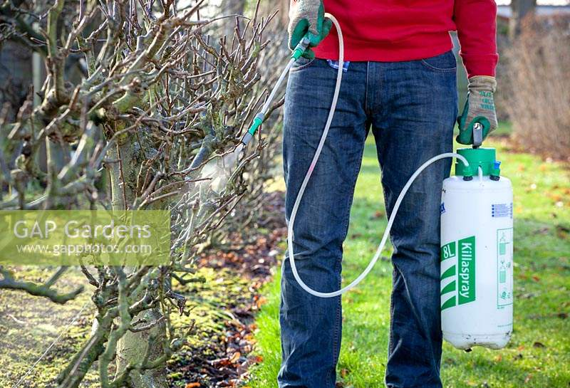Man applying a winter wash to an apple tree using a spray.