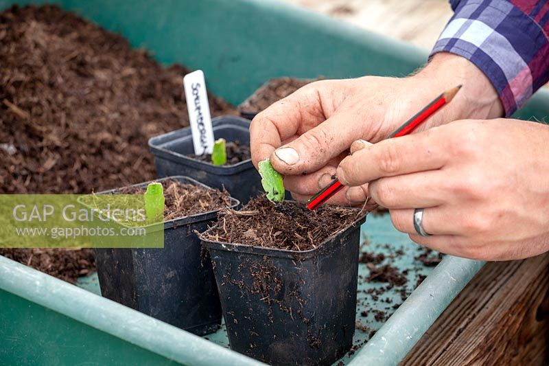 Man potting on Christmas cactus cuttings - Schlumbergia.