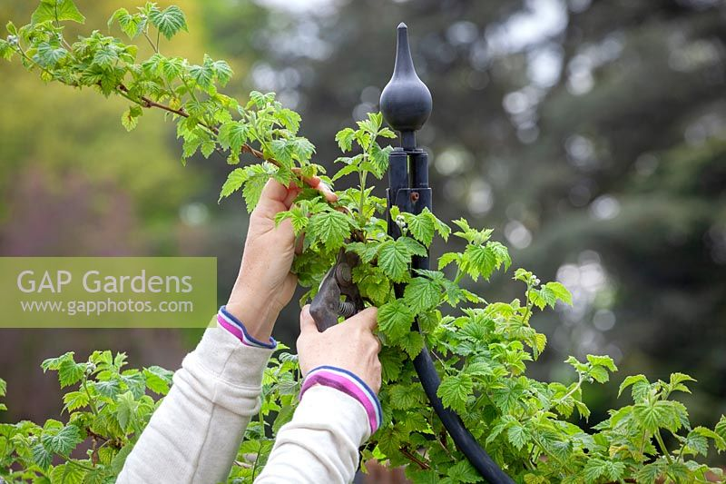 Woman pruning the tips of raspberry canes.