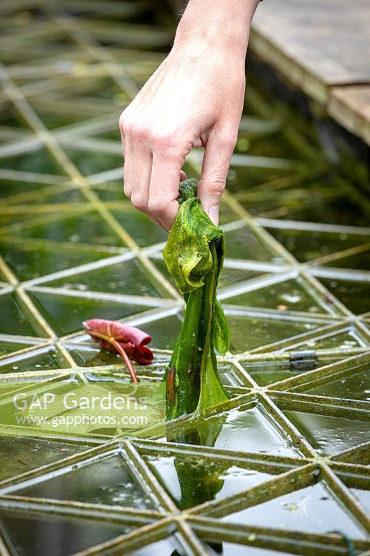 Person removing pondweed from a pond.