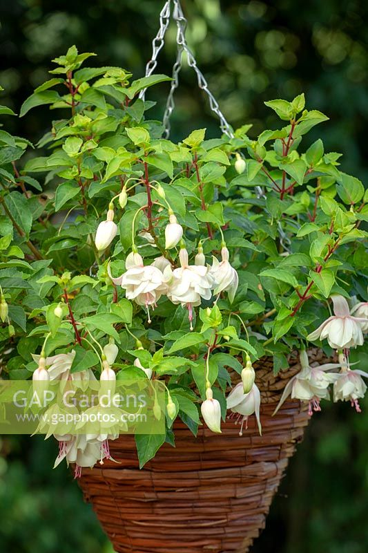 Fuchsia 'Annabelle' in a hanging basket