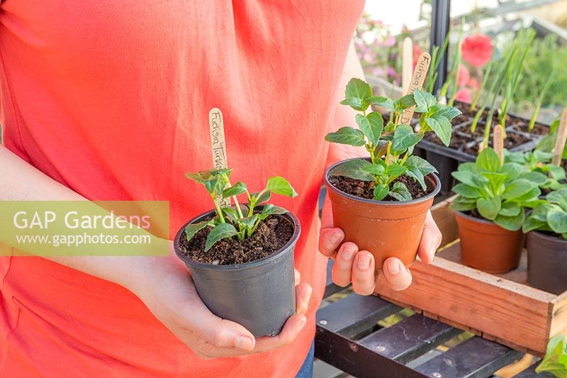 Person holding two potted summer bedding Fuchsia plants, left hand side plant has had the top shoots pinched to encourage bushy growth