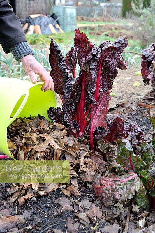Adding dead leaves around Swiss Chard as frost protection