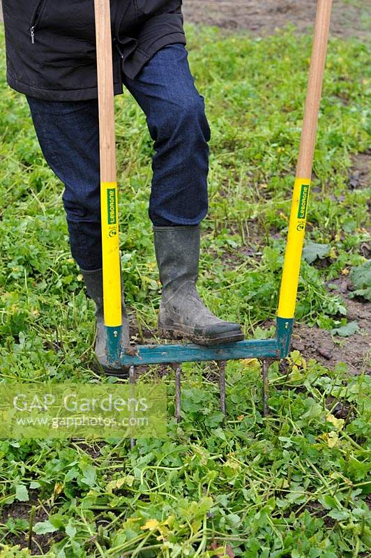 Digging White Mustard as green manure with broadfork into the soil of a vegetable bed