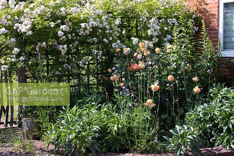 Flowerbed by house, planted with Rosa 'Lady Emma Hamilton', Helleborus argutifolius, and Rosa 'Wedding Day' growing over trellis fence behind. Hampshire, UK.