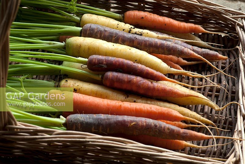 Carrot 'Harlequin Mix' - harvested roots in a wicker trug