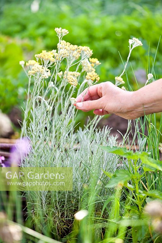 Person picking Helichrysum italicum - Curry plant.