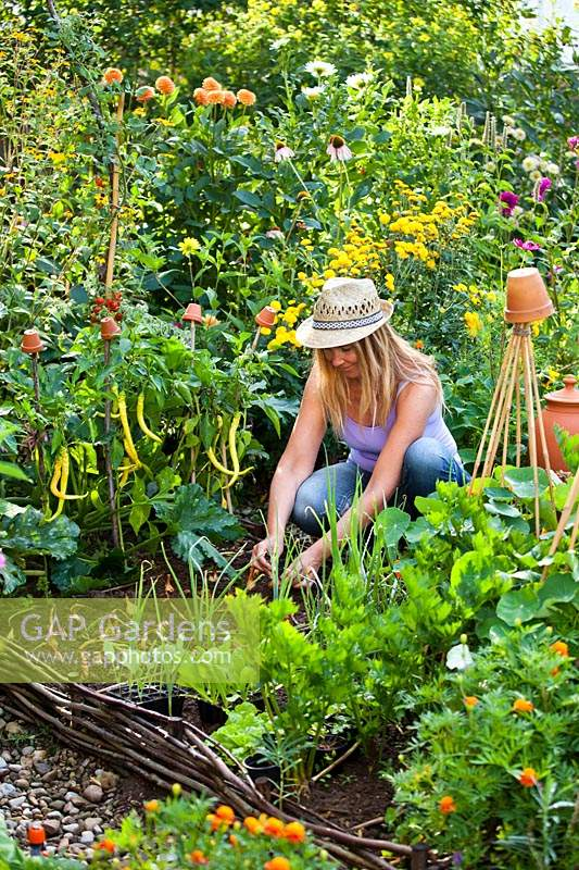 Woman harvesting onions in a raised bed in a potager