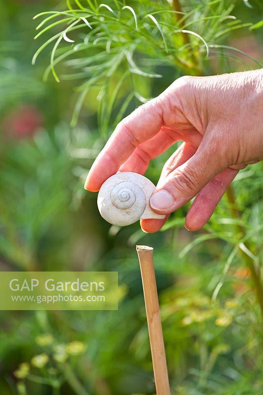 Placing snail shells on a top of cane to prevent eye accidents