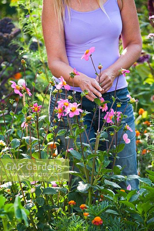 Woman picking dahlias - Dahlia merckii