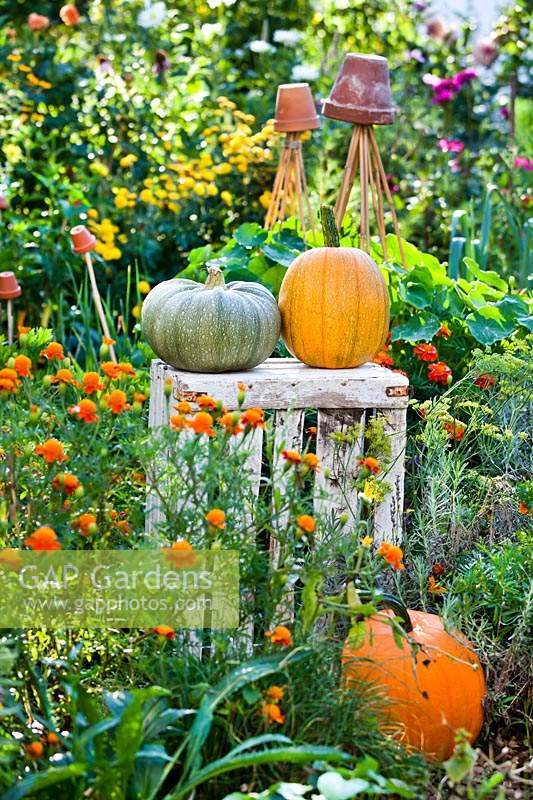 Pair of harvested pumpkins on a wooden crate, plus another on the ground, in a potager style garden.