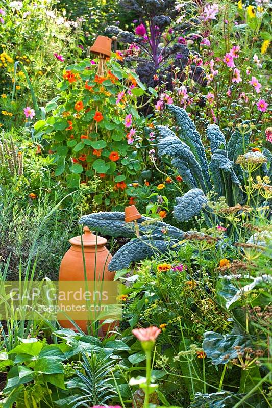 Potager or mixed planting in vegetable garden. Plants include: Tropaeolum majus