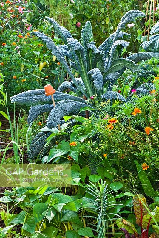 Mixed vegetable bed includes French beans 'Berggold', kale 'Nero di Toscana', 