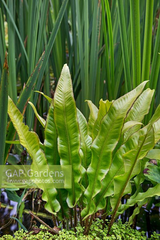 Asplenium scolopendrium - Hart's tongue fern - by the pond