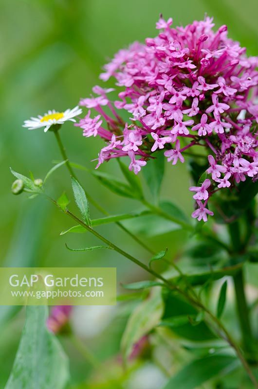 Centranthus ruber - red valerian - with Erigeron