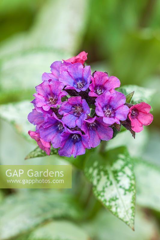 Gap Gardens Pulmonaria Silver Bouquet Lungwort Image No