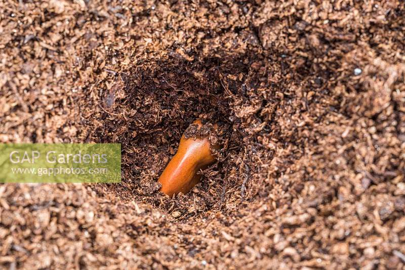Broad bean seed in planting hole.
