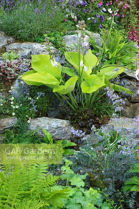 Rock garden featuring  Hosta 'Sum and Substance', Lavender, Campanula, Nepeta - Catmint, Alchemilla mollis and ferns.
