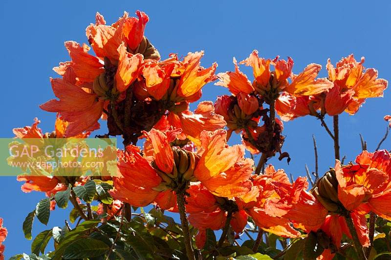 Spathodea campanulata - African tulip tree - flowers against blue sky