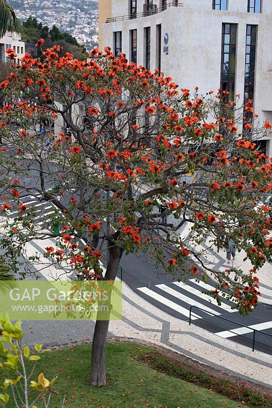 Spathodea campanulata - African tulip tree - in an urban setting