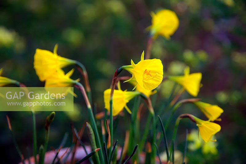 Narcissus 'Oxford Gold' - Daffodil