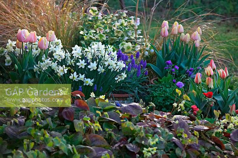 Colourful spring border with Tulipa, Muscari, Narcissus and Epimedium.