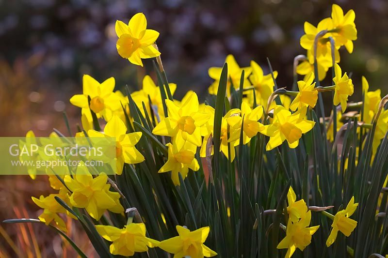 Narcissus 'Sweetness' - Daffodil