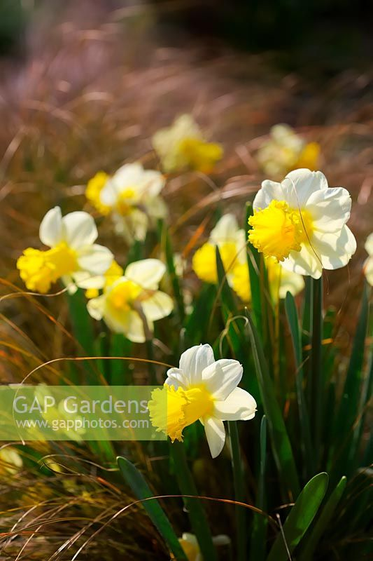 Narcissus 'Jenny' - Daffodil with Carex testacea