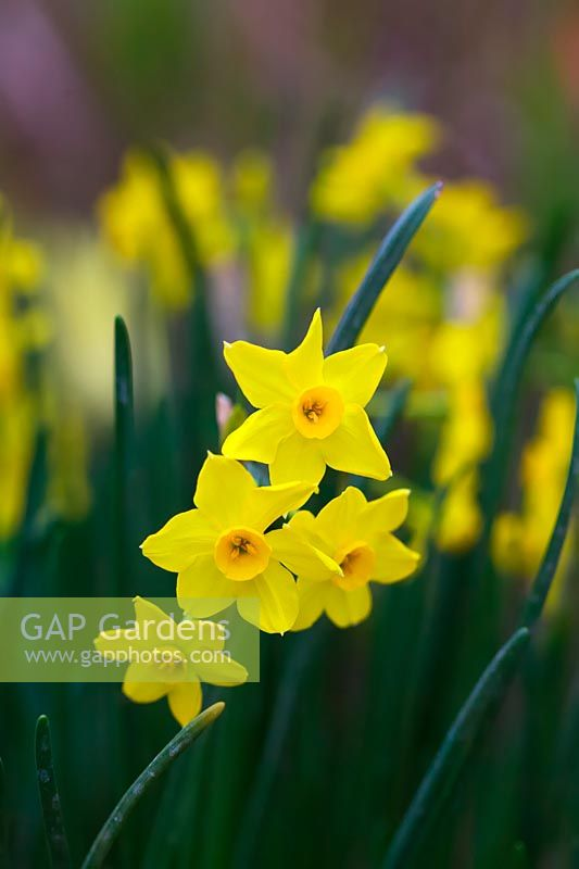 Narcissus 'Baby Boomer' - Jonquil Daffodil