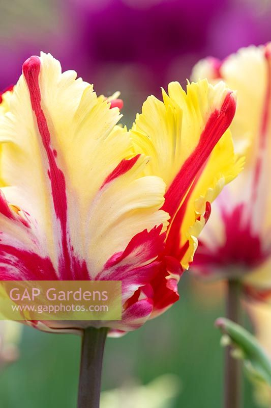 Tulipa 'Flaming parrot'.