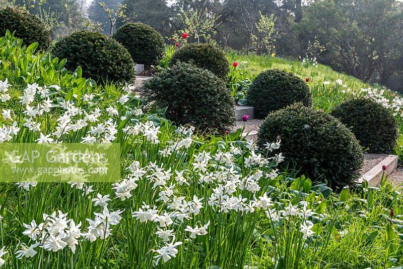 Narcissus 'Thalia' flowering on bank in formal garden. Arundel Castle, Sussex, UK.