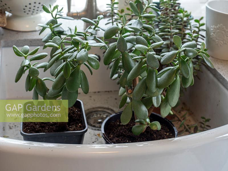 Crassula ovata - Money plant or Jade plant - recently divided and potted-on into two pots, put in butler