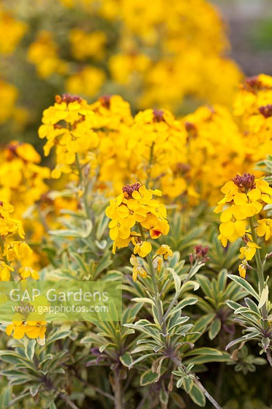 Erysimum 'Sunburst' syn. 'Listrace' - Wallflower - variegated foliage, red buds open to yellow flowers