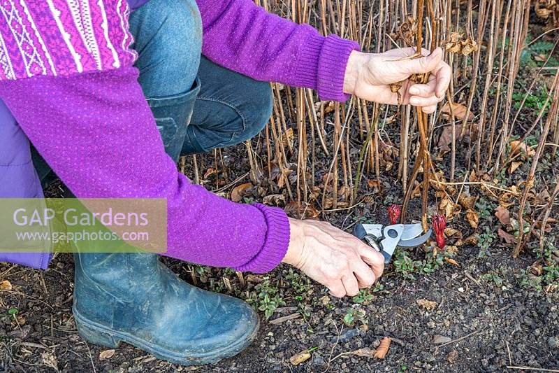 Woman cutting back dry stems of Paeonia in early Spring