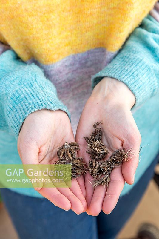 Woman holding the dry corms of Ranunculus prior to soaking.