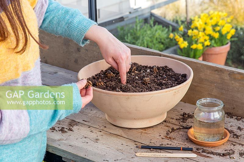 Woman using finger to make a hole for planting Ranunculus corms in container